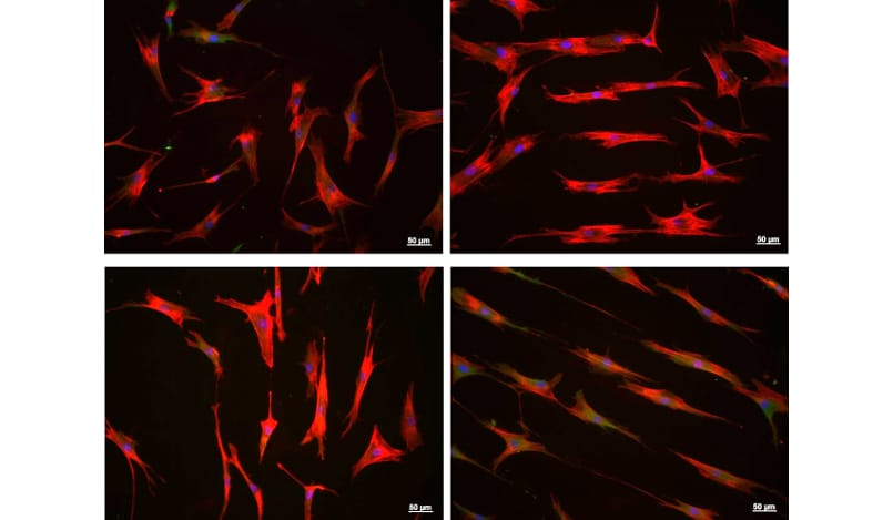 Study of cell differentiation and proliferation (tissue engineering)